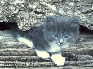 """Poser"" - a cute little gray and white kitten. :)"
