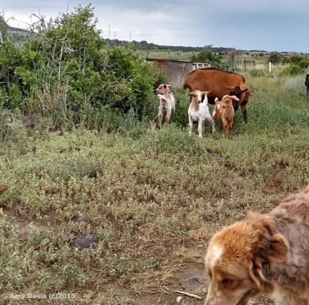 Doug & Goats (watermarked)